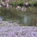 写真: 兼六園熊谷桜
