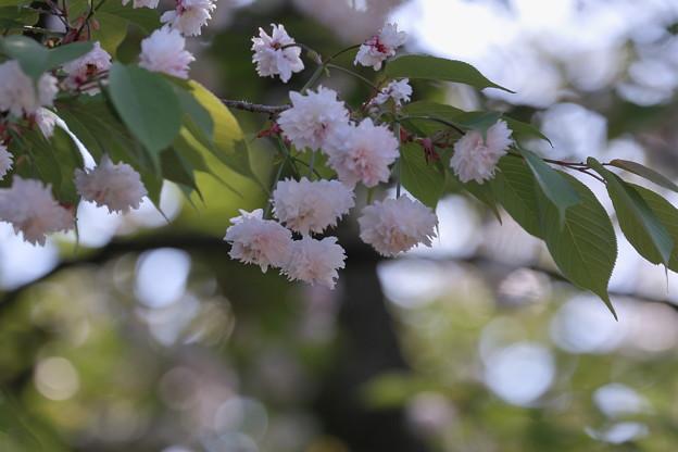 写真: ゼンショウジキクザクラ1 (善正寺菊桜)