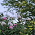 写真: バラ園(1)