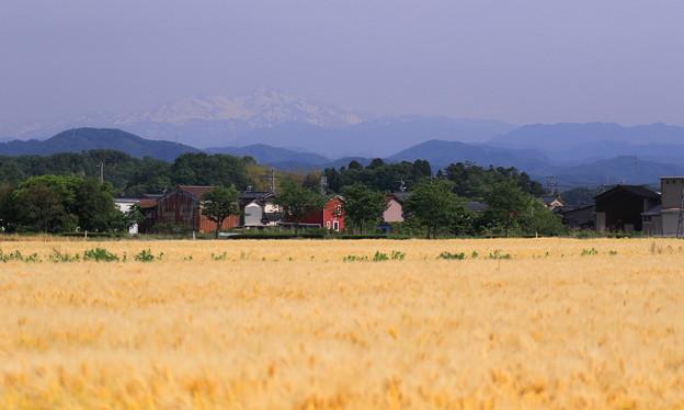 白山と麦畑