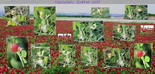 モンキチョウとミツバチ  クリムソンクローバー畑