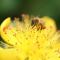 ミツバチさん、お仕事中 大きな花粉団子(2)