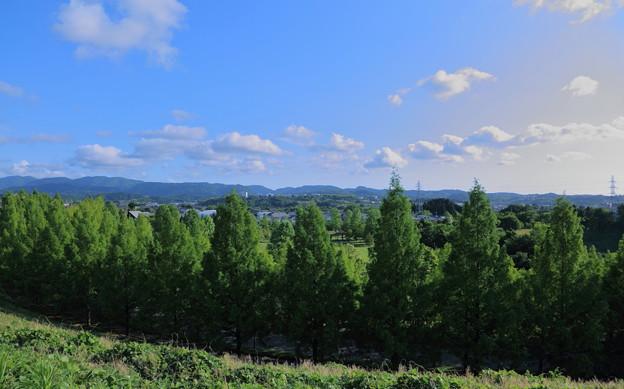 メタセコイアの並木道と青空