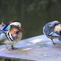 オシドリのカップル(2) いしかわ動物園