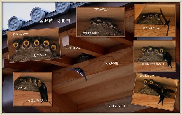 ツバメの巣と子育て  金沢城 河北門で