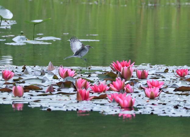 セグロセキレイの幼鳥と睡蓮(1)