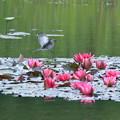 Photos: セグロセキレイの幼鳥とヒメスイレン(1)