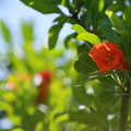 写真: ザクロの花