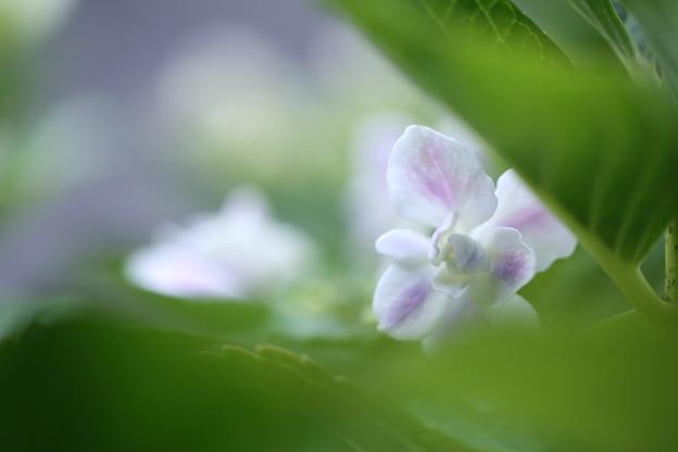 紫陽花 コンペイトウ(1)