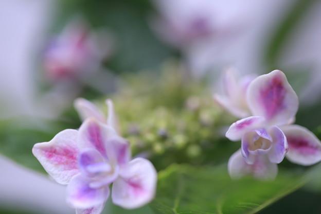 紫陽花 コンペイトウ(2)