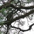 写真: 兼六園 松の木にアオバズク(1)
