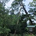 写真: 兼六園 瓢池のアカマツ