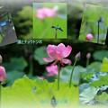 写真: 蓮とチョウトンボ