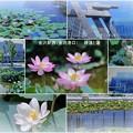 写真: 金沢駅西(金沢港口)睡蓮と蓮