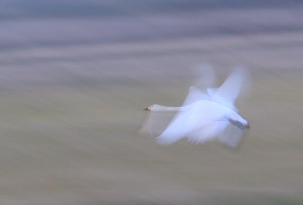 コハクチョウの飛翔 (1)