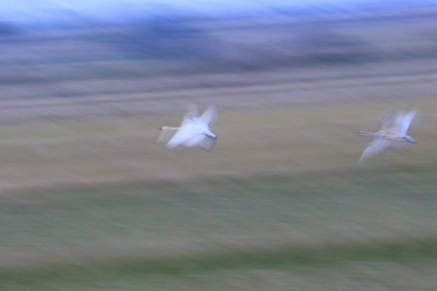 コハクチョウの飛翔(3)