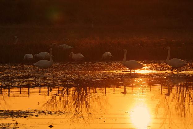 夕日とコハクチョウ(2)
