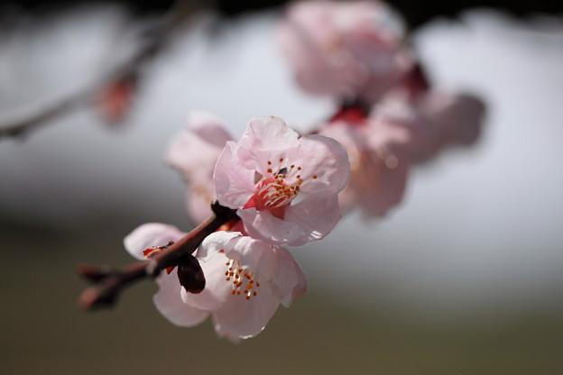 アンズの花(1)