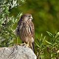 P8500045-チョウゲンボウ幼鳥