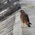 P8510833-チョウゲンボウ幼鳥-何思う?