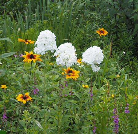 白花オイラン草