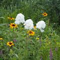 写真: 白花オイラン草