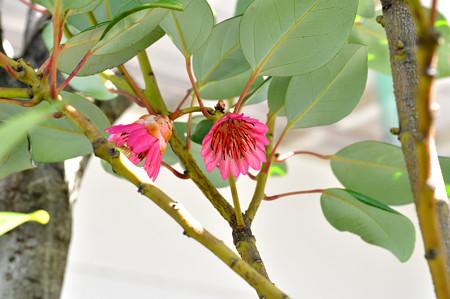 ロドレイアの花