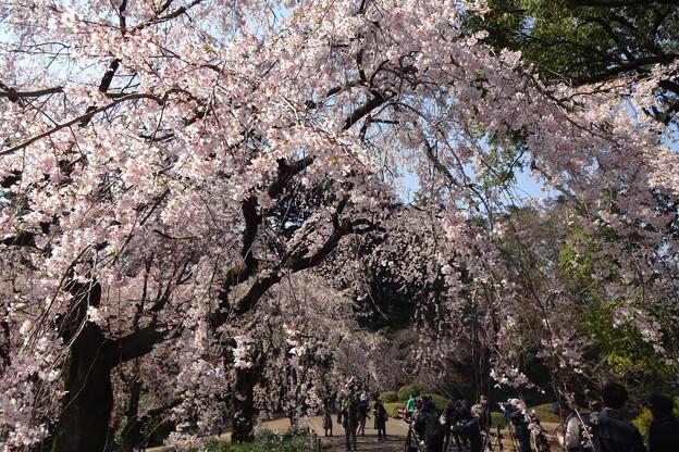 桜三昧・・・そして並河靖之の七宝展