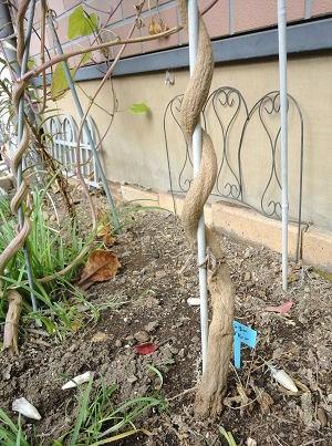 ヘブンリーブルーの根