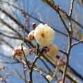 もう春はそこに・・・(白梅編)