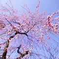 Photos: 枝垂れ梅
