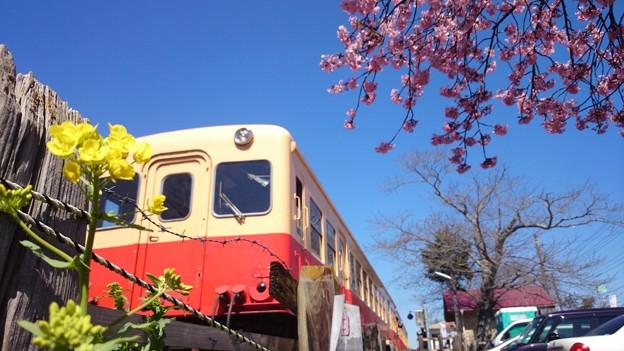 小湊鐵道と桜と菜の花