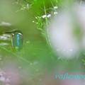 写真: 立葵と翡翠