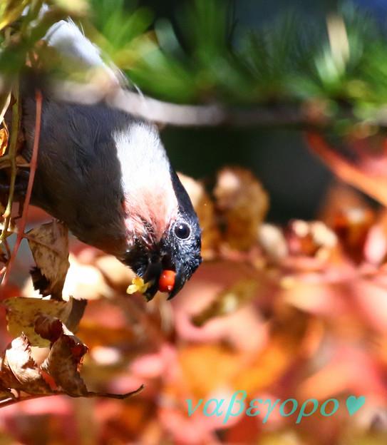 写真: ウソと赤い実と秋色