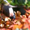 ウソと赤い実と秋色