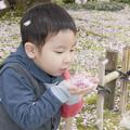 写真: 初めての桜「ふぅ~」吹き