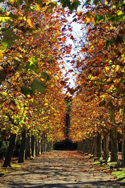 写真: プラタナスの並木