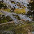 写真: 池に浮かぶ桜かな