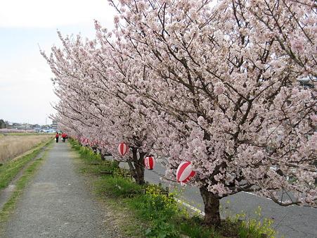 春めき桜(5)春木径