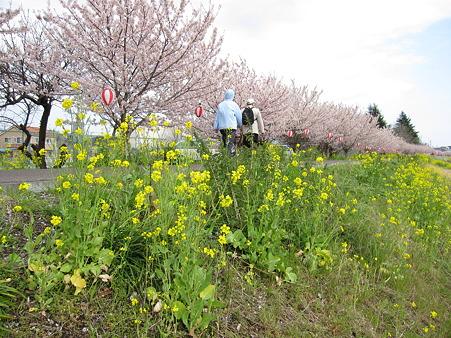 春めき桜(6)幸せ道