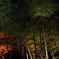 Photos: 竹もみじ