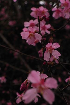 おかめ桜の舞
