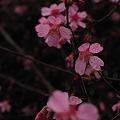 Photos: おかめ桜の舞