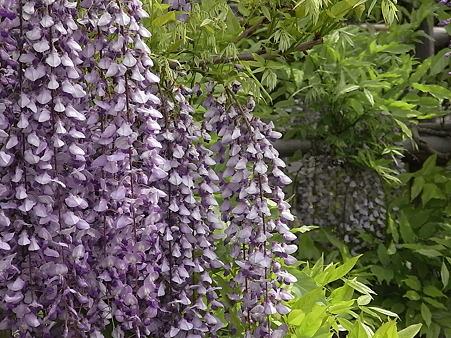紫が咲き誇り
