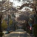 Photos: 日常桜4_朝