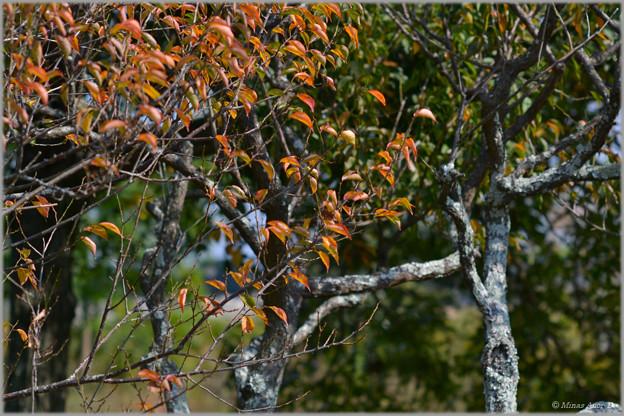 写真: 秋の梅