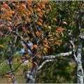 Photos: 秋の梅