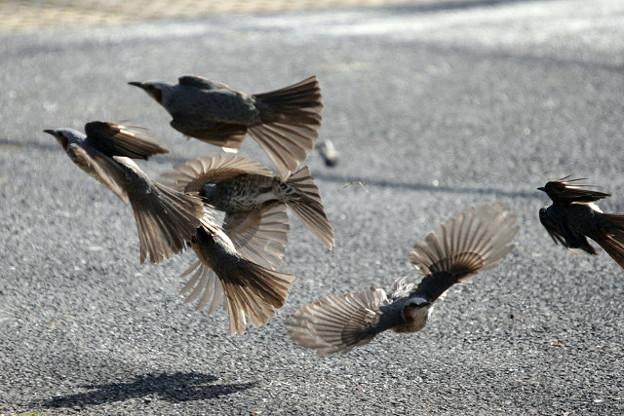 Photos: パニック状態なヒヨドリ