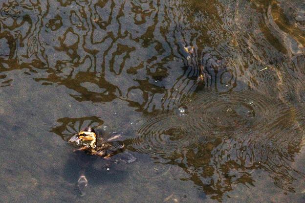 Photos: カルガモのヒナが潜水する