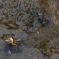 カルガモのヒナが潜水する